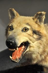 Loup - musée en Piconrue